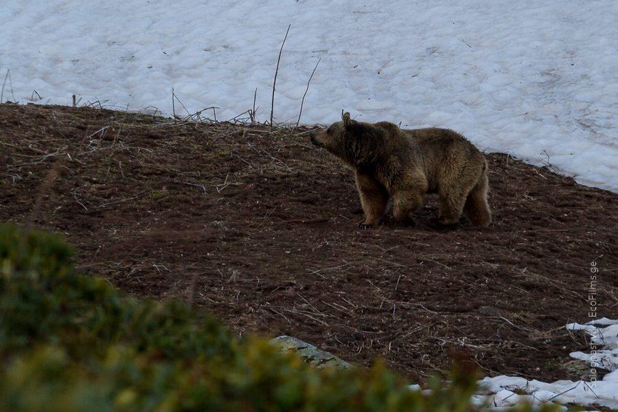 Caucasian Bear
