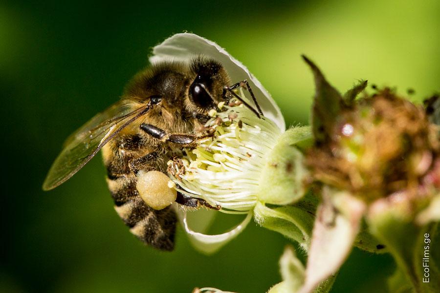 caucasus bee