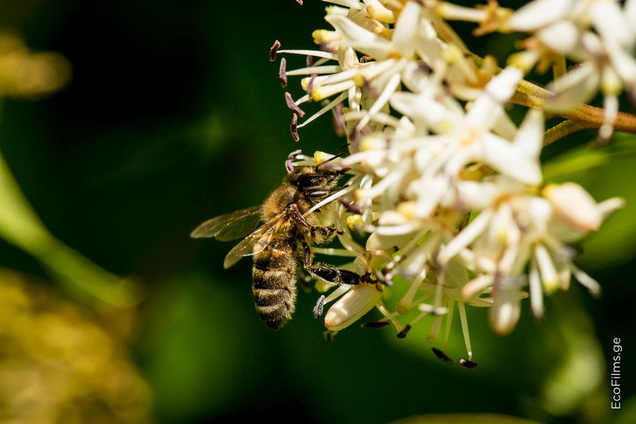 caucasus bee2