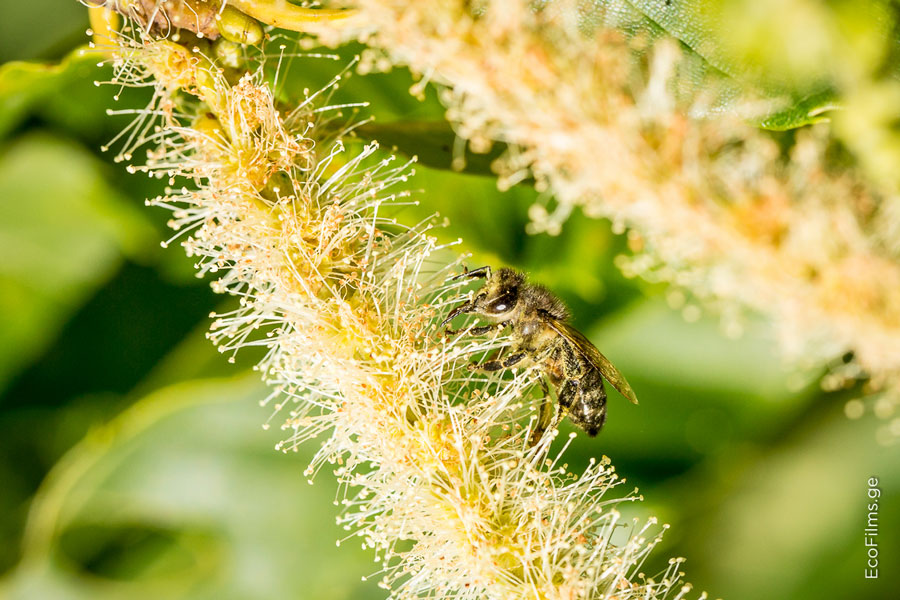 caucasus bee3