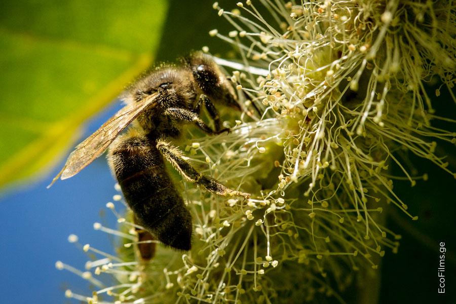 caucasus bee4